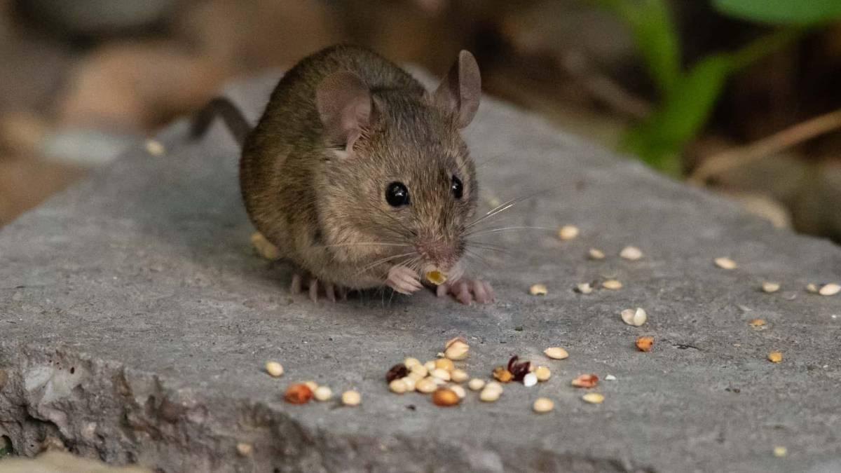Cómo deshacerse de los ratones en la casa y en las paredes
